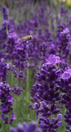 Bee Flight into the Lavender • photo: Fred on Flickr