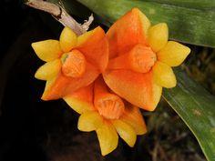 Orchid: Dendrobium chrysopterum