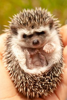 This baby hedgehog who is overloaded with cute in every aspect.