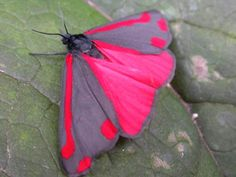 The cinnabar moth (Tyria jacobaeae) is a brightly coloured arctiid moth, found in Europe and western and central Asia. It has been introduced into New Zealand, Australia and North America to control poisonous ragwort, on which its larvae feed.