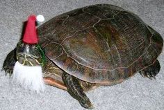 Turtle Claus - Squee daily at these cute animals and the absolute cutest animal pics and gifs ever known to man. Funny Animal Videos, Funny Animal Pictures, Funny Animals, Cute Animals, Animal Pics, Jokes Photos, Animal Dress Up, Santa Pictures, Silly Dogs