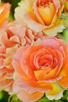 """sunset"" roses"