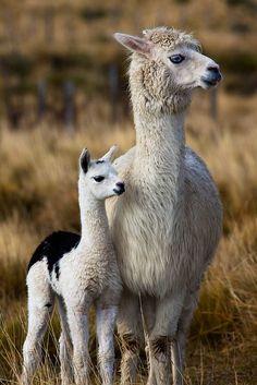 alpaca with baby . Lama Animal, Animal 2, Mundo Animal, Farm Animals, Animals And Pets, Funny Animals, Cute Animals, Alpacas, Beautiful Creatures