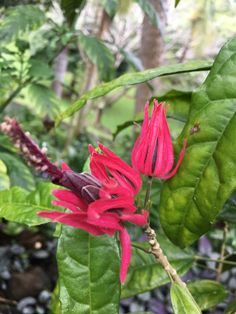 Unusual Hot Pink Flowers At Princeville Botanical Gardens