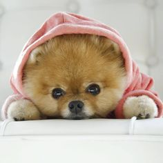 Cute Baby Dogs, Cute Cats And Dogs, Cute Baby Animals, Animals And Pets, Cute Puppies, Funny Animals, Baby Animals Pictures, Cute Puppy Pictures, Boo The Cutest Dog