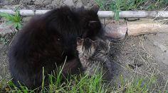 Kiscicák Black Bear, Cats, Animals, Gatos, Animales, American Black Bear, Animaux, Animais, Kitty