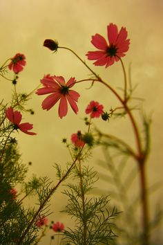 Cloudy Day Cosmos #old #nature