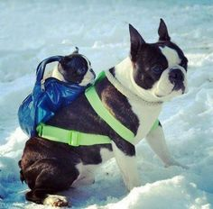 Boston Terrier carrying her pup in a backpack.