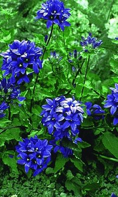 Blue Pretties