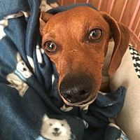 All Texas Dachshund Rescue In Pearland Texas In 2020 Dachshund Rescue Dachshund Adoption Dachshund