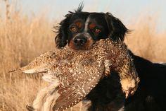 french brittany dog photo   Dog Breed Comparison: Chessies Vs. Labs - Gun Dog Magazine