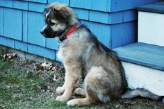 """Stella the Aussie Shep/Chow Chow! """"I'll do anything you want for a Cheez-It!"""""""