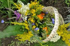 Pretty basket of herbs harvested from herb garden...