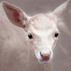 albino deer!
