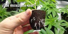 Hay enrraizantes para marihuana orgánicos, biológicos y minerales, y dentro de estos, sólidos y líquidos. ¿Cual elijo para mis plantas?