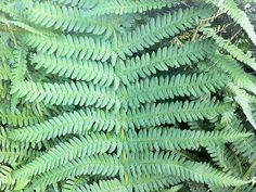 Wurmfarn Dryopteris filix-mas Staude Gewöhnlicher Wurmfarn Pflege Echter Wurmfarn Schnitt Vermehrung Standort