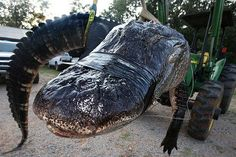 Record-Breaking 1,000-Plus-Pound Alligator Caught in Alabama River.