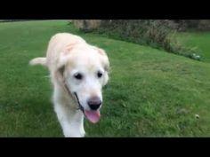 Golden retriever walk