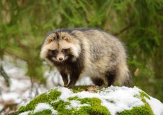 Raccoon dogs are the only canines that hibernate during the winter