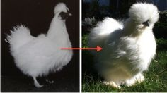 Silkie Chickens Breaking it down, sexing & more - Zijdehoenders Bantam Chickens, Backyard Barn, Chickens Backyard, Chicken Breeds Chart, Raising Chickens, Urban Farming, Horse Farms, Bird Feathers