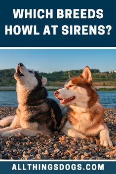 Siberian Huskies were used in sledding races in the and gained popularity in In the Siberian Husky Club of America was founded and, in the same year, the Red Husky dog breed gained recognition by the American Kennel Club. Red Husky Puppies, Husky Puppy, Cute Puppies, Red Siberian Husky, Siberian Huskies, Large Dog Breeds, Large Dogs, American Husky, Husky Breeds