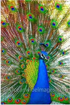 color picture of a peacock displaying feathers - Yahoo Search Results