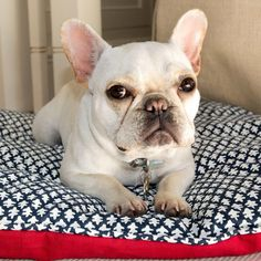This French Bulldog agrees, Finally, a chic dog bed worthy of your home. We created a reversible dog bed outfitted in our iconic, upholstery-grade prints to withstand the wear and tear of your dog in style. It's low- profile design is great in crates too. small:29″ long by 23″ wide large: 37″ long by 26″ wide