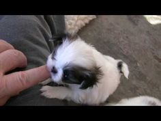 Japanese Chin Puppy playing! ... by ckguess - 1080plus.com