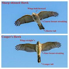Hawk Identification, Beautiful Birds, Animals Beautiful, Hawk Species, Cooper's Hawk, Animal Medicine, Animal Facts, Backyard Birds, Birds Of Prey