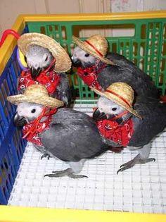Baby African greys in sombreros