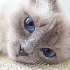 Love this pretty face! #minivaniljer #mazarin #birma #birman #breeder #chokladochvanilj #catsofinstagram #pinkalicious #welovecats #we_love_cats #excellent_cats #bestcats_oftheworld