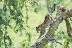 Leopard - Panthera pardus - National Geographic