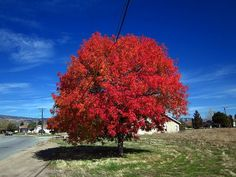 Autumn Blaze Maple in fall color. See? Beautiful. But green most of the year.