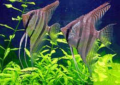 peixes ornamentais 3