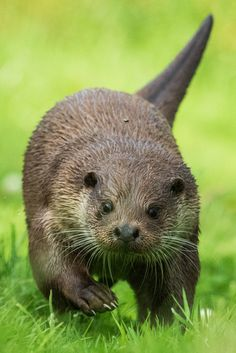 The Otter and the Fly | So there I was trying to get an imag… | Flickr
