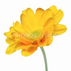 Close-Up Of A Chrysanthemum | Royalty-Free Images | Photos.com