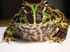 African Bullfrog or Pac Man Horned Frog: Choosing the Best Frog Pet
