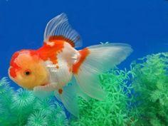 Lot# 8894 SHOW QUALITY Red & White Long Veil Tail Oranda (6.25 inches) goldfishnet.com