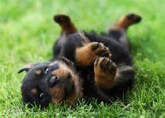 Baby Rottweiler