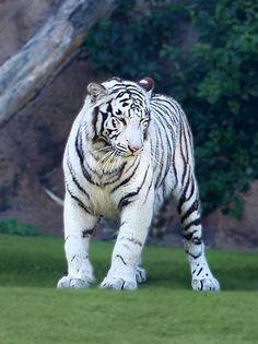 White Tiger - Tenerife Loro Parque.