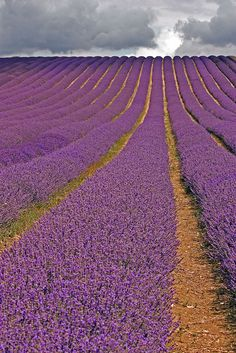 Stormy Lavender, Hitchin, England