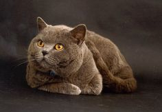 Blue British Shorthair | british-shorthairs.co.uk