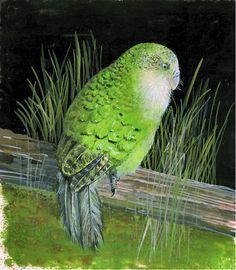 Kakapo art on Pinterest | 88 Pins
