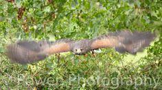 Wildlife photograph Hawk taking to flight by LovingWhisperPhotos
