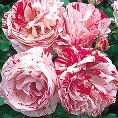 Scentimental - Florbunda - An unusual striped floribunda with a powerful fragrance. Repeats well