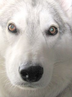 Cody is watching you. #dogs #husky #huskies #malamutes (Photo by Wilfred Wong, May 30, 2006, San Francisco, CA)