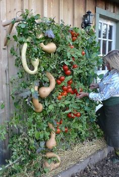 9 Nice ideas: Vegetable Garden Signs Food vegetable garden trellis tips.Rustic Vegetable Garden Woods vegetable garden tips how to build.Vegetable Garden Containers How To Build. Garden Trellis, Garden Planters, Diy Trellis, Balcony Gardening, Wall Trellis, Fence Garden, Indoor Planters, Garden Pool, Indoor Garden