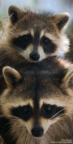Raccoon stack. #animals