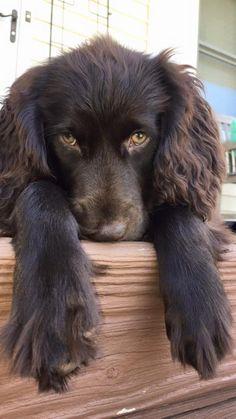 Boykin Spaniel Puppies, Spaniel Breeds, Springer Spaniel, Unusual Dog Breeds, Animals Photos, Little Brown, Brown Dog, Animal Species, Spaniels