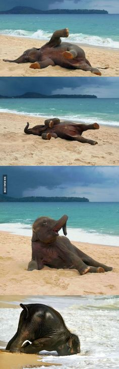 Baby elephant's first time at the beach. The amazingly happy face of a joyful elephant is without compare. Their emotions are on display.